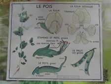Carte Expo Affiche scolaire Set de Table le Pois fruit la plante  : 30 x 37 cm