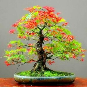 20 Seeds Japanese Maple Tree Red and Green Leaf Bonsai Acer Seed (JPN9) Rainbow