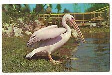 Pelican Pete White Busch Gardens Anheuser-Busch Budwiser Brewery Bird Postcard