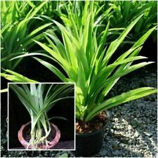3-Pandan-seedlings-Aromatic-fragrant-Plants-Pandanus-amaryllifolius Ceylon