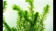 3 ELODEA DENSA LIVE AQUARIUM AQUATIC PLANT TROPICAL OR COLDWATER