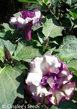 240+ *BULK* DOUBLE PURPLE DEVIL'S TRUMPET SEEDS  DATURA METEL Fragrant Tropical