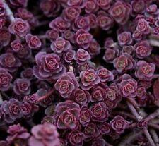 50+ PURPLE CARPET SEDUM FLOWER SEEDS / DARK RED / DROUGHT TOLERANT PERENNIAL