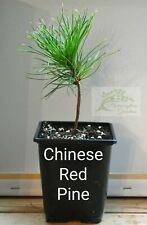 ☆Chinese Red Pine Trees, qty x2 (Pinus Tabuliformis) 9cm Pot, One Year Old☆