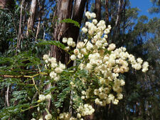 Sunshine Wattle (Acacia terminalis) - 30 Seeds