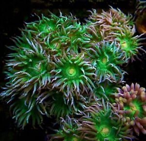 AUSTRALIAN DUNCAN CORAL FRAG- TWO HEADS/LPS/CORAL/MARINE