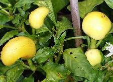 Gold Cone Chilli - A Medium Hot Fantastic Looking Chilli - 5 Seeds
