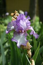Earl of Essex (Zurbrigg 1980) Historic Tall Bearded (Tb) Iris - 1 Rhizome