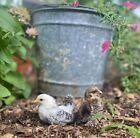 6++ Serama Chicken Hatching Eggs from Chickweed Farms LLC. NPIP