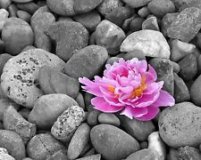 Peony on Stones Photo Art Print Home Wall Decor 11 x 14 Mat Pink Flower Picture