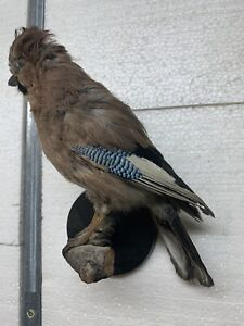 """Taxidermy Nice """"JAY"""" Excellent Composition!!!"""