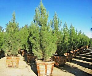 National park pine bonsai Pinus eldarica best bonsai plant pine plant seeds bulk