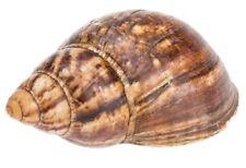 NaDeco® Achatschnecke natur 12-16cm | Archachatina marginata | Westafrikanische