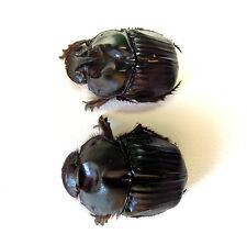 Coleoptera Scarabaeidae Phanaeus batesi Pair Dried Insect Beetle