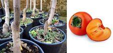 pianta albero innestato di kaki cachi loto loti caco mela da frutto