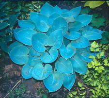 Hosta Prairie Sky best blue leafed Hosta garden plant ex 12cm pot