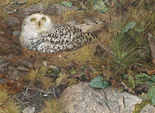Carl Brenders PHANTOM OF THE TUNDRA, Snowy Owl, giclee paper ARTIST PROOF #3/30