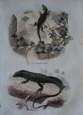 GRAVURE GOMMEE GOUACHEE DE LACEPEDE 1844 LE LEZARD VERT ET LE PORTE CREE