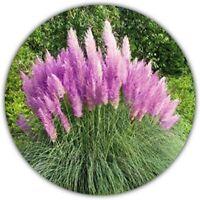 Lila Pampasgras (C. Sellona) - Ziergras - 60 Samen - Pflanze m. violetten Blüten
