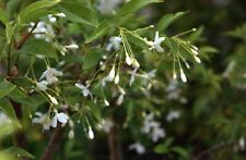Vietnamese Water Jasmine Wrightia religiosa good for bonsai