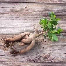 "Bonsai Bare Root ""Gensing"" Ficus Microcarpa Grafted Bonsai Tree / House Plant"