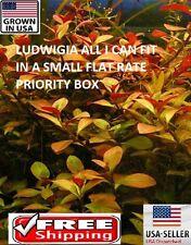 Ludwigia FULL SMALL FLAT RATE BOX  Easy Aquarium Plant aquascaping planted tank