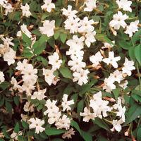 1 pot de parfumée jasmin grimpeur Jasminum polyanthum parfum maison de jardin plante