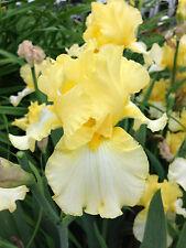 Tall Bearded Iris Sun Fun Lemon Yellow Flower Rhizome Perennial Plant
