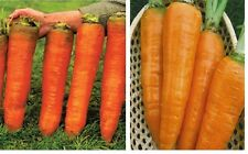 20 x BIG RUSSIAN Carrots Seeds New Vegetables Garden #278