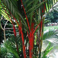 Lipstick Palm Cyrtostachys Renda Tree 10 Live seeds Red sealing Wax Palm Garden