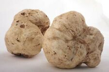 WHITE OREGON TRUFFLE mushroom spores spawn/mycelium (on dry seeds)