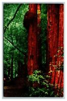 San Francisco, CA California, Muir Woods National Monument Mill Valley Postcard