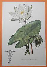 Weiße Seerose (Nymphaea alba) Wasserrose Meerblatt Wasserlilie Farbdruck 1955