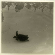 PHOTO ANCIENNE - VINTAGE SNAPSHOT - ANIMAL TORTUE MER - TURTLE