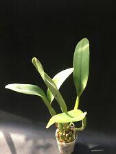 Cattleya Rhyncholaeliacattleya Young Kong Sun Orchid Fragrant Bloom Size 18