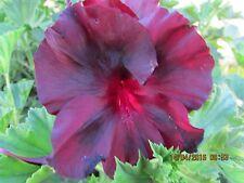 52 GERANIUM PELARGONIUM  BLACK LACE PLANT $7   POSTAGE $8.00 BOX OF 3 PLANTS