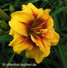 """Hemerocallis """"Mount Helena"""" Taglilie"""