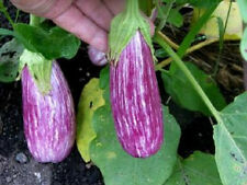 Eggplant Seeds Egg plant seed 50 Antigua Seeds