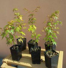 Acer palmatum, Acero palmato giapponese, pianta vaso 7, per Bonsai e Giardini