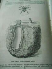 La Mygale Pionnière Spider Gravure Old Print 1852