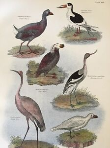1868 Crane Puffin Antique Color Bird Natural History Print ready to frame