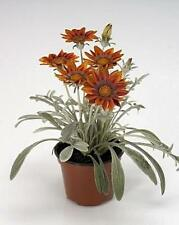 Gazania Talent Series Red Annual Seeds