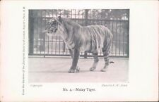 Postcard  No 4  Malay tiger London Zoo by F.W Bond unposted.