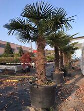 Piante e bonsai palme, banani e tropicali tropicale | eBay