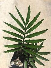 Encephalartos Msinganus Rare Thorny SHADE Loving Plant ICE BLUE CYCADS NURSERY