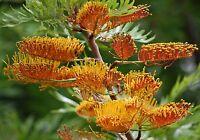 Grevillea Robusta Southern Silky Oak Australian Silver Oak Tree 10 Seeds