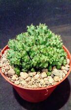 euphorbia horrida cristata plant succulent