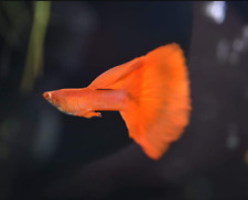 QUALITY GUPPY FISH ALBINO FULL RED  1 PAIR  (1MALE+1FEMALE)