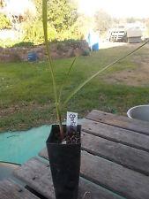 Society Garlic/garlic chives  - 1 x perennial herb plant tube size