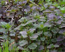 menthe aquatique plante bassin odorante parfumee  facile